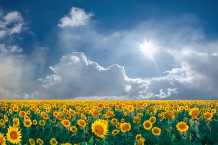 Zomer beautyful landschap met grote zonnebloemen veld en blauwe hemel met wolken Stockfoto