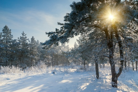 Beautiful winter morning, sun rays shine through branches, landscape photo