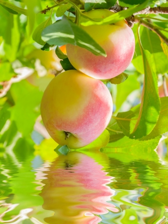 Two red and yellow apples on a branch reflection on water, outdoors photo
