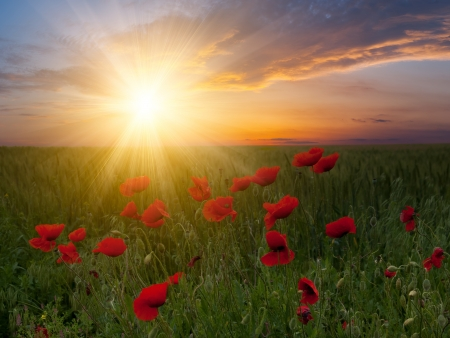 Summer landscape with big meadow with poppies and beautiful sunset on background