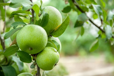 apple orchard: Green apples on a branch ready to be harvested, outdoors, selective focus
