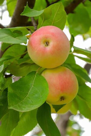 Two colorful red and yellow apples on a branch ready to be harvested, outdoors photo