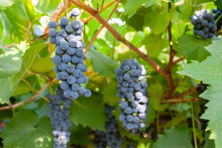 Blue grapes on a branch shined with the sun ready to be harvested, outdoors, selective focus Stock Photo