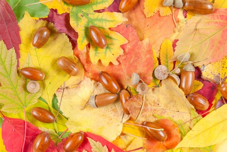 Colorful autumn leaves background texture with acorn photo