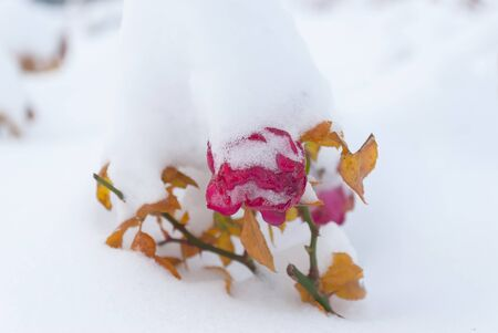 The frozen flowers of the roses which have been filled up with snow, winter outdoor photo