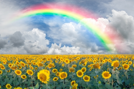 Summer beautiful landscape with big sunflowers field and blue sky with clouds and rainbow photo
