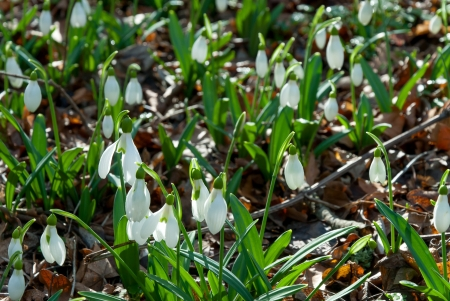 Spring snowdrop flowers in the forest shined with the sun, outdoor photo