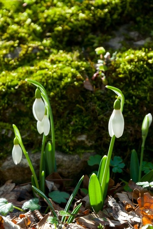 Close up spring snowdrop flowers in the forest shined with the sun, outdoor photo