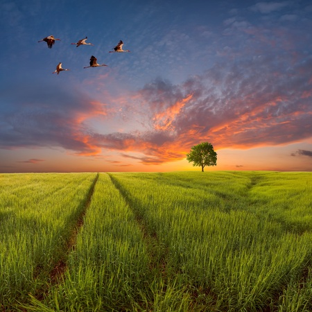 Evening landscape with a green field and the road, a tree on the horizon and birds in the sky against a majestic decline Stock Photo - 18227968