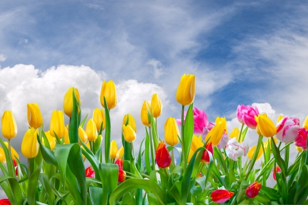 Spring landscape with tulip flowers and beautiful clouds in the sky Фото со стока