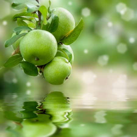 Green apples on a branch ready to be harvested reflection in water, outdoors, selective focus Фото со стока - 18677291