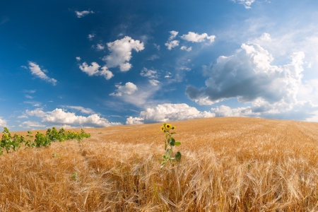 Wheat field with a sunflower, majestic clouds in the blue sky Stock Photo - 19008227