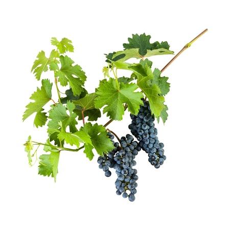 vid: Azul uvas maduras en la rama con hojas aisladas sobre fondo blanco