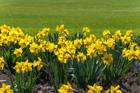Spring landscape with yellow narcissus flowers meadow and green grass in park photo