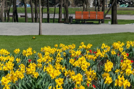 Spring landscape with tulip and narcissus flowers meadow in park photo