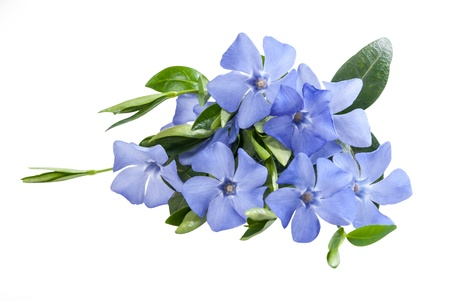 blue flowers: Beautiful periwinkle blue flower isolated on white background