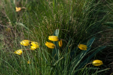 Wild yellow tulips flower in grass on meadow, outdoor photo