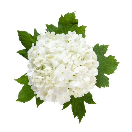 White flowers on green leaves isolated on a white background, for design