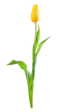 cenefas flores: Flor amarilla de tulipán con hojas verdes aisladas sobre un fondo blanco, para el diseño