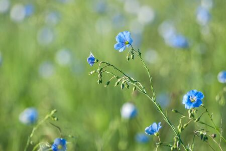 Meadow with blue flax flowers, selective focus photo