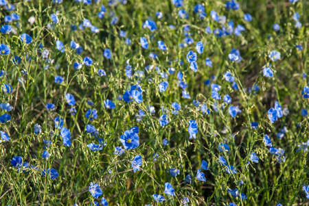 Landscape with meadow of blue flax flowers, spring sunny day photo