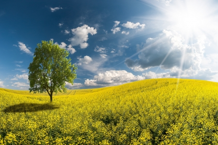 Landscape with beautiful morning, yellow rapeseed field, a tree in field and majestic clouds in sky photo