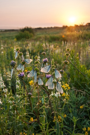Spring meadow with flower and butterfly, sunrise landscape photo