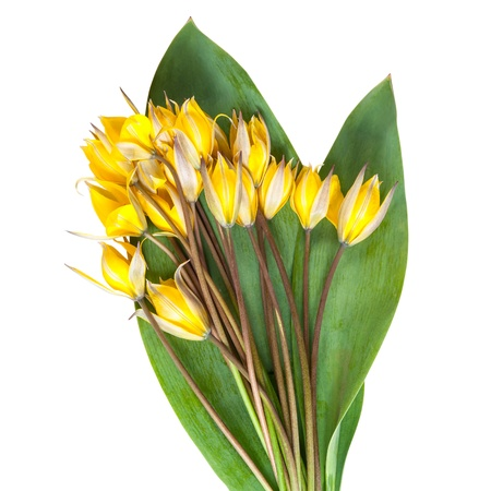 Wild yellow tulip flower with green leaves isolated on a white background, for design photo