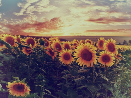 Summer landscape with colorful sunset over sunflowers field, vintage style photo