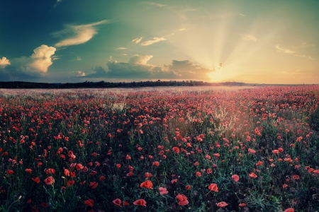 Vintage landscape with big field of poppies photo