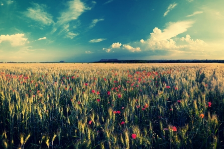 Vintage landscape with wheat field and poppy flowers photo