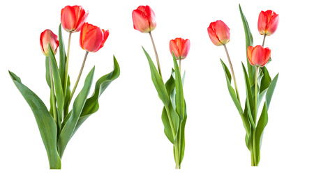 Red tulips isolated on white background 스톡 콘텐츠