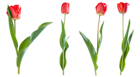 Red tulips isolated on white background Фото со стока