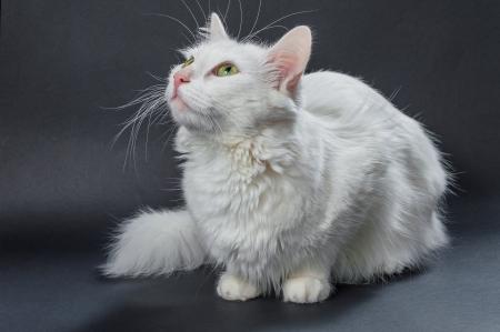 White angora cat on grey background
