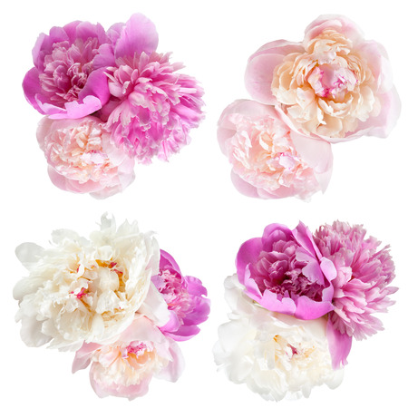 flower border pink: Peonies flower isolated on white background Stock Photo
