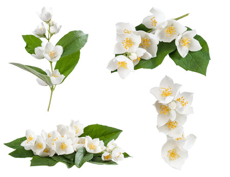 Set of jasmine flowers isolated on white background Фото со стока