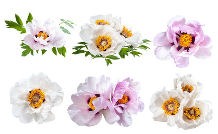 Peonies flower isolated on white background Stock Photo