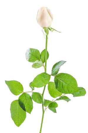 Beautiful rose flowers isolated on white background Stock Photo - 25477105