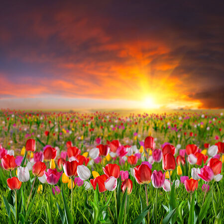 Landscape with large tulip flower meadow on sunset