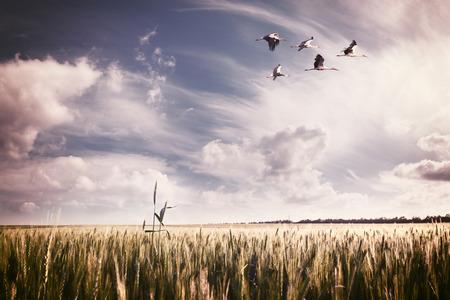 cicogna: Vintage paesaggio un campo di grano estivo con uno stormo di cicogne