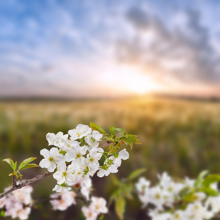 Branches of cherry blossoms against a background of sunrise the steppe photo