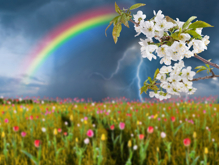 Summer landscape with cherry flowers and thunderstorm over big tulip meadow photo