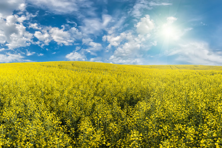 Landscape with beautiful morning and yellow rapeseed field photo