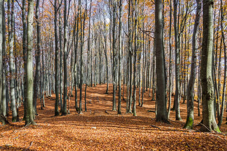 Beautiful autumn forest with falling leaves photo
