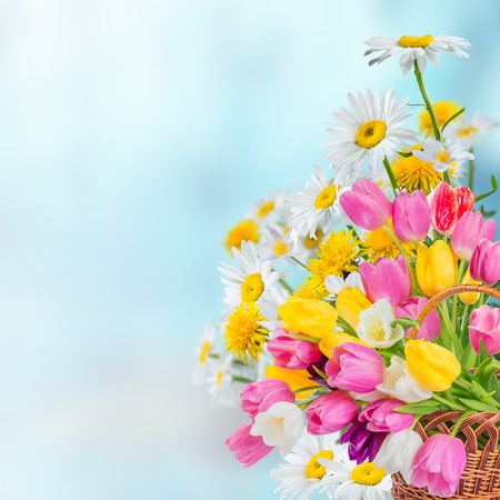 chamomile flower: Spring background with tulip and chamomile flowers Stock Photo