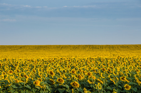 Summer beauty landscape with sunflowers field photo
