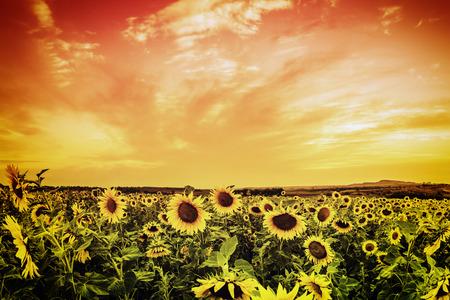 Vintage sunflower field on sunset photo