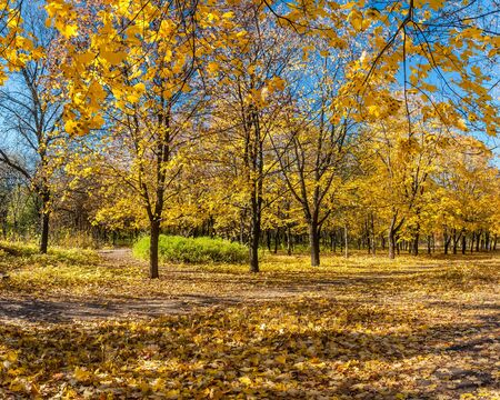 parkland: Beautiful autumn parkland with maples alley Stock Photo