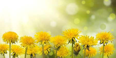 Spring meadow with sunny flowers, nature background