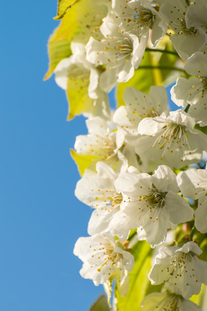selective focus: Soft background with cherry flowers, selective focus